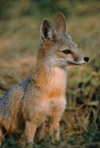 San Joaquin Kit Fox copy